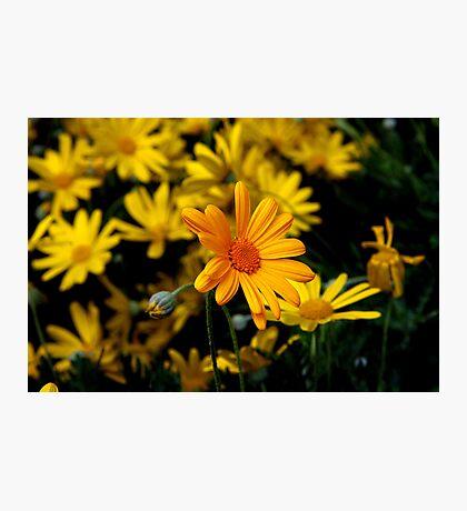 yellow flowers Photographic Print
