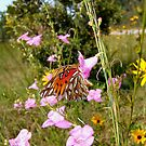 Gulf Fritillary in Purple Gerardia by May Lattanzio