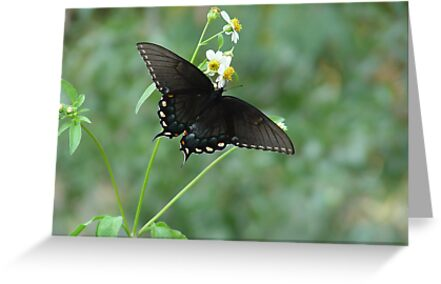 Tiger Swallowtail in Bidens alba by May Lattanzio