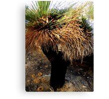 Grass Tree Joondulup, Western Australia. Canvas Print