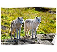 Pair of Arctic Wolves - Montebello, Quebec  Poster