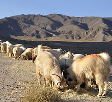 Sheep grazing on a hill by Milonk