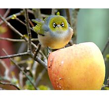 I Once Was Lost But Now I'm Found!! - Silvereye - NZ Photographic Print