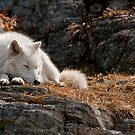 Sleeping Arctic Wolf by Michael Cummings