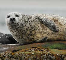 Common Seal at Rest by Richard Ion