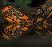 Eastern Box Turtle by Andy Mueller