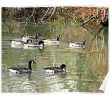 Canadian Geese (Branta canadensis) Poster