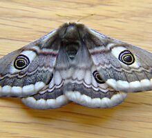 Emperor Moth by Mark  O'Mahony