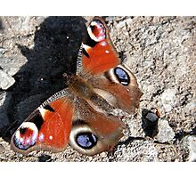 Basking Butterfly Photographic Print