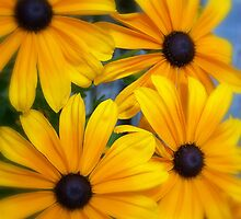 Black Eyed Susans by Jody Johnson