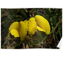 Heath Parrot Pea Poster