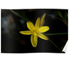 Rush Lily In Flower Poster