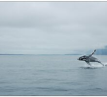 Humpback whale breaching by Laurens