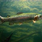Trout rainbow  by chinet