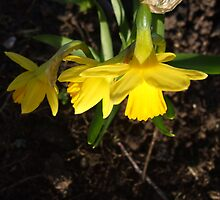 Miniature Daffodils by pat oubridge