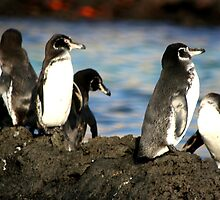 Galapagos Penguins by Kphotographer