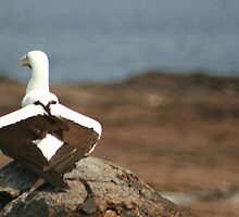 Masked Booby by Kphotographer