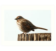 Song Sparrow - Early Spring Art Print