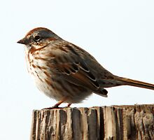 Song Sparrow - Early Spring by Ryan Houston