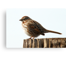 Song Sparrow - Early Spring Canvas Print