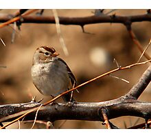 Juvenile White-Crowned Sparrow Photographic Print