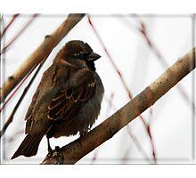 House Sparrow - Lehi, Utah Photographic Print