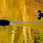 Black Ducks, Evening Light, Wilson Park, Berwick, Australia. by johnrf