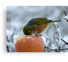 I Know There's got to be Fruit In Here!!! - Silvereye - NZ Canvas Print