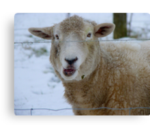 Thanks For Asking..But I Do Have A Woollen Coat!! - Sheep - NZ Canvas Print