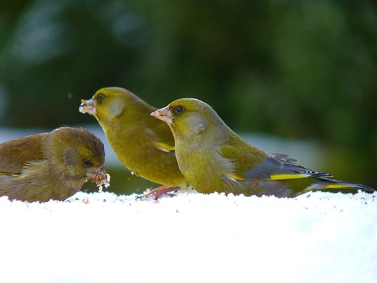 Aghhh!!..Iced Seed... I Guess It's Better Than None!! - Green finches snow by AndreaEL