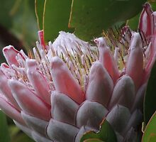 Pure Protea by ScenerybyDesign