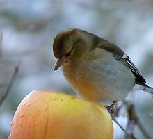 Awww!! Do I Really Have To Eat This - I Don't Need To Go On A Diet!! - Female Chaffinch by AndreaEL