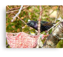Ummm! Excuse Me Sir.. That My Food Your'e Eating - Starling - NZ  Canvas Print