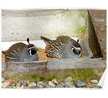 Are You Comfy Hun!! - California Valley Quail - NZ Poster