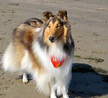 Collie Dog at Beach by Jan  Wall