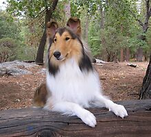 Collie Dog on a Log by Jan  Wall