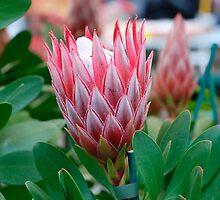 Protea Cynaroides Flower by jojobob