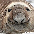 The Beach Master  ~  Southern Bull Elephant Seal by Robert Elliott
