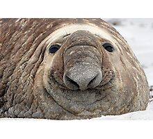 The Beach Master  ~  Southern Bull Elephant Seal Photographic Print