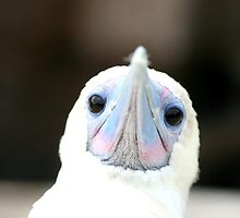 The Face of a Booby by Kphotographer