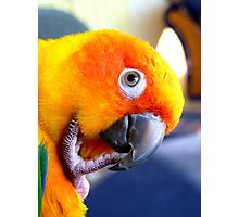Hmmm....Should I Go Android Or Apple? - Sun Conure NZ Photographic Print