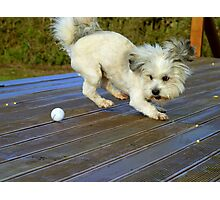 I'll Teach You How To Putt..Watch This! - Mojo - Shih tzu Bichon - NZ Photographic Print
