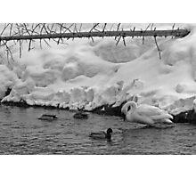 Swan and Ducks Photographic Print