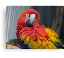 I Promise...I Haven't Seen Bob At All...- Macaw - NZ Canvas Print