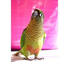 The Washing Is All Done Mum....Bubbles - Maroon-Bellied Conure - NZ Photographic Print