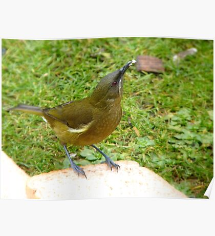 I'm Offering A Big Crumb...Any Takers!!!! - Bellbird - NZ Poster