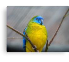 I'm Poised...I Won't Blink!!!! -Turquoise Parrot - Dunedin - Otago - NZ Canvas Print