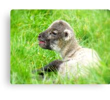 My Life Was In His Hands......Premature Lamb - NZ Metal Print