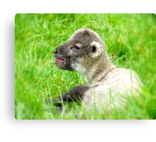 My Life Was In His Hands......Premature Lamb - NZ Canvas Print