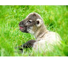 My Life Was In His Hands......Premature Lamb - NZ Photographic Print